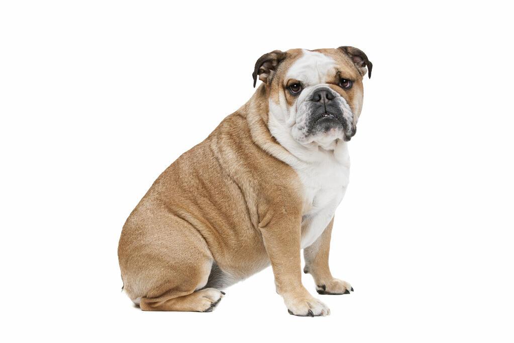 Bulldog Anglais Chiens Informations Sur Les Races Omlet