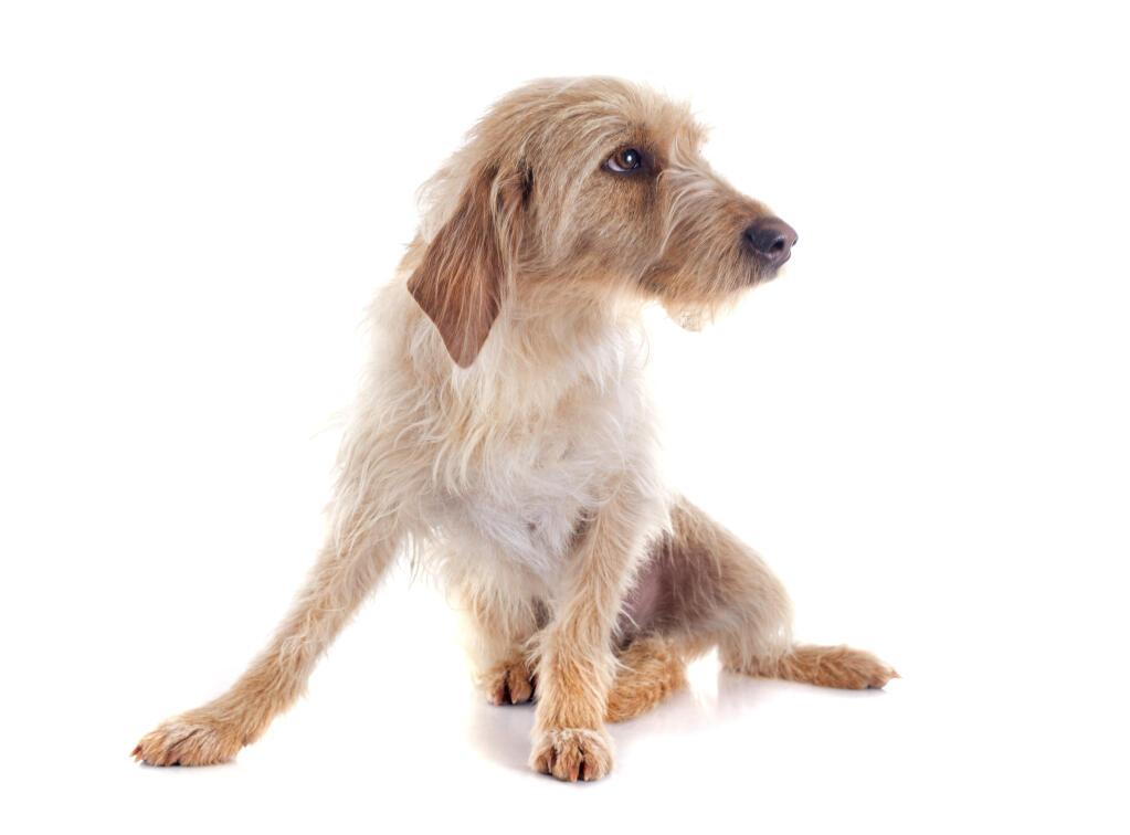 griffon fauve de bretagne | chiens | informations sur les races | omlet