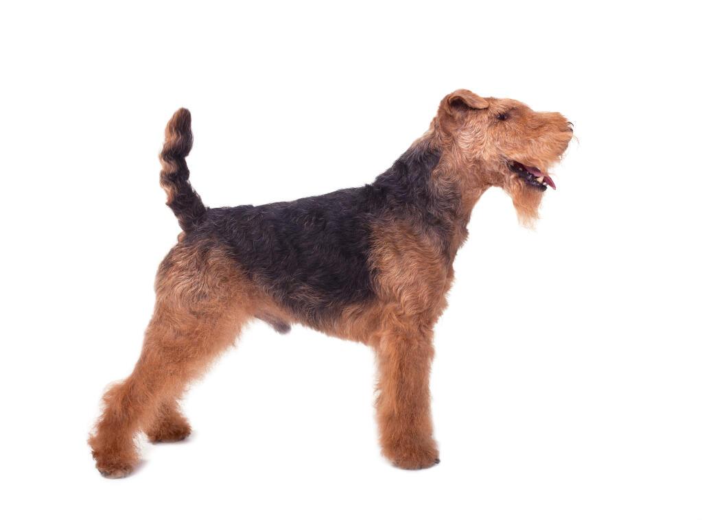 club de race welsh terrier