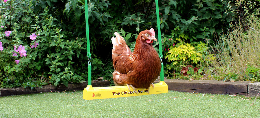 A Gingernut Range perching on The Chicken Swing in the garden