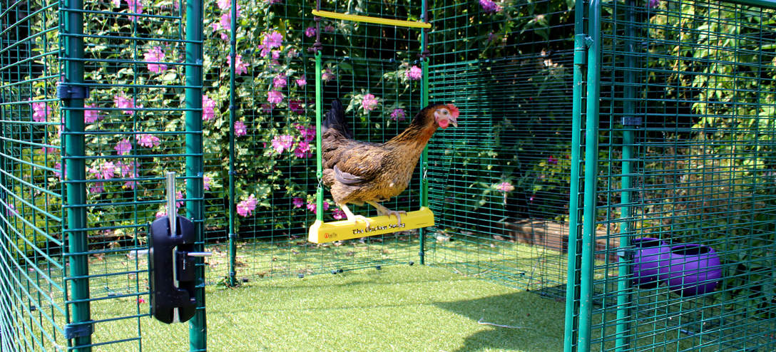 Miss Pepperpot on her Chicken Swing in the Walk in Chicken Run