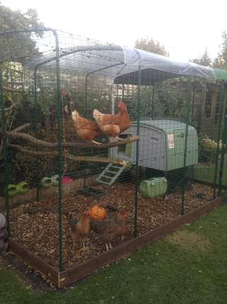 Chickens loving their new walk in run