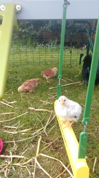 Our three week old chicks enjoying their swing for the first time!!!