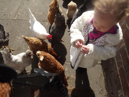 Grandaughter enjoying the chooks