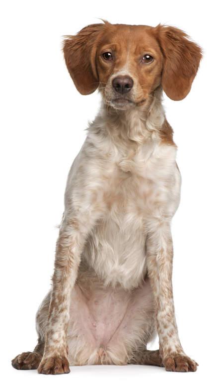 epagneul breton | chiens | informations sur les races | omlet