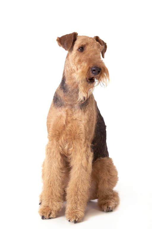Airedale Terrier Chiens Informations Sur Les Races Omlet
