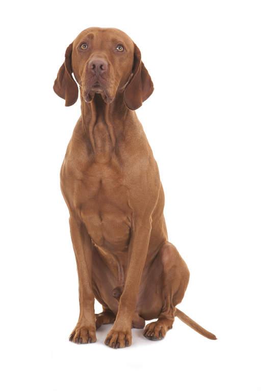 Braque hongrois poil court chiens informations sur les races omlet - Braque hongrois a poil court ...