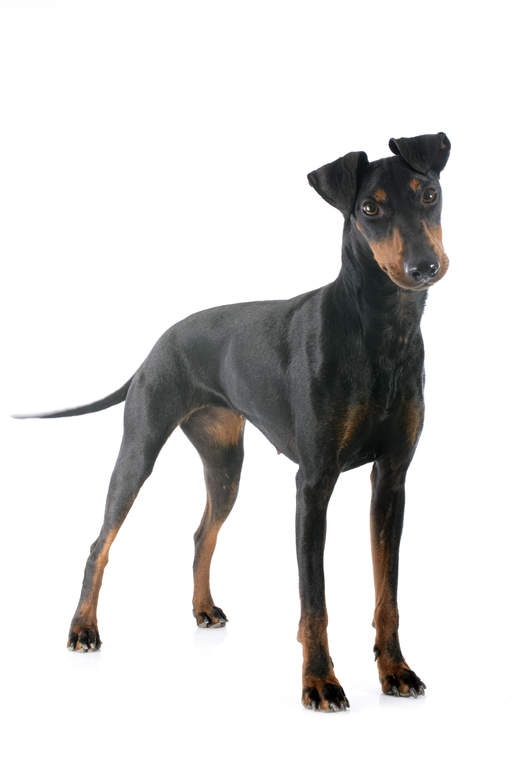 manchester terrier chiens informations sur les races