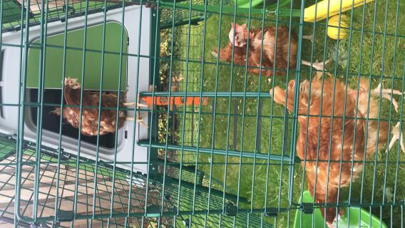 Rescued ex battery chickens enjoying their luxury pad
