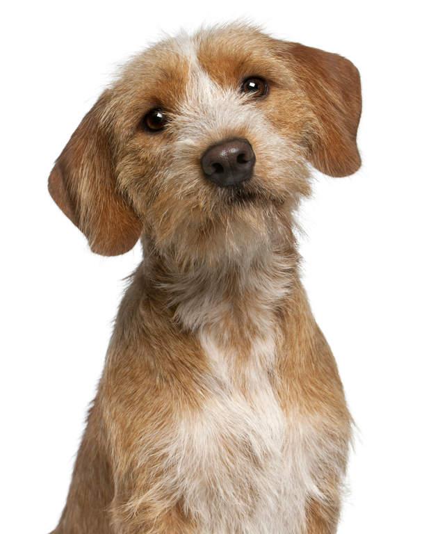basset fauve de bretagne | chiens | informations sur les races | omlet