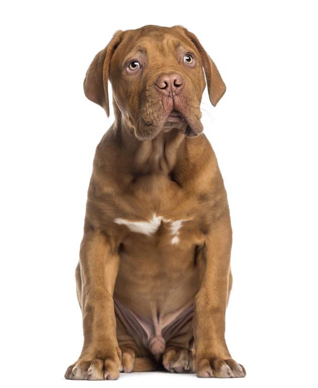 dogue de bordeaux chiens informations sur les races omlet. Black Bedroom Furniture Sets. Home Design Ideas