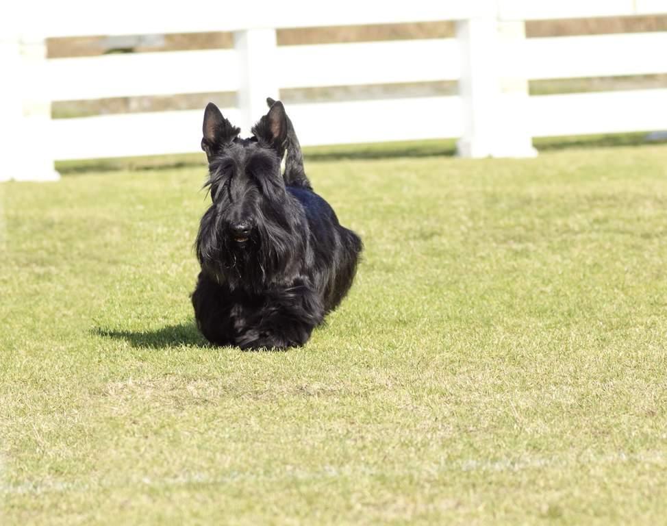 skye terrier chiens informations sur les races omlet
