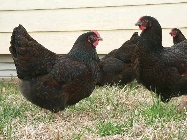 barnevelder for sale | poules | informations sur les races | omlet