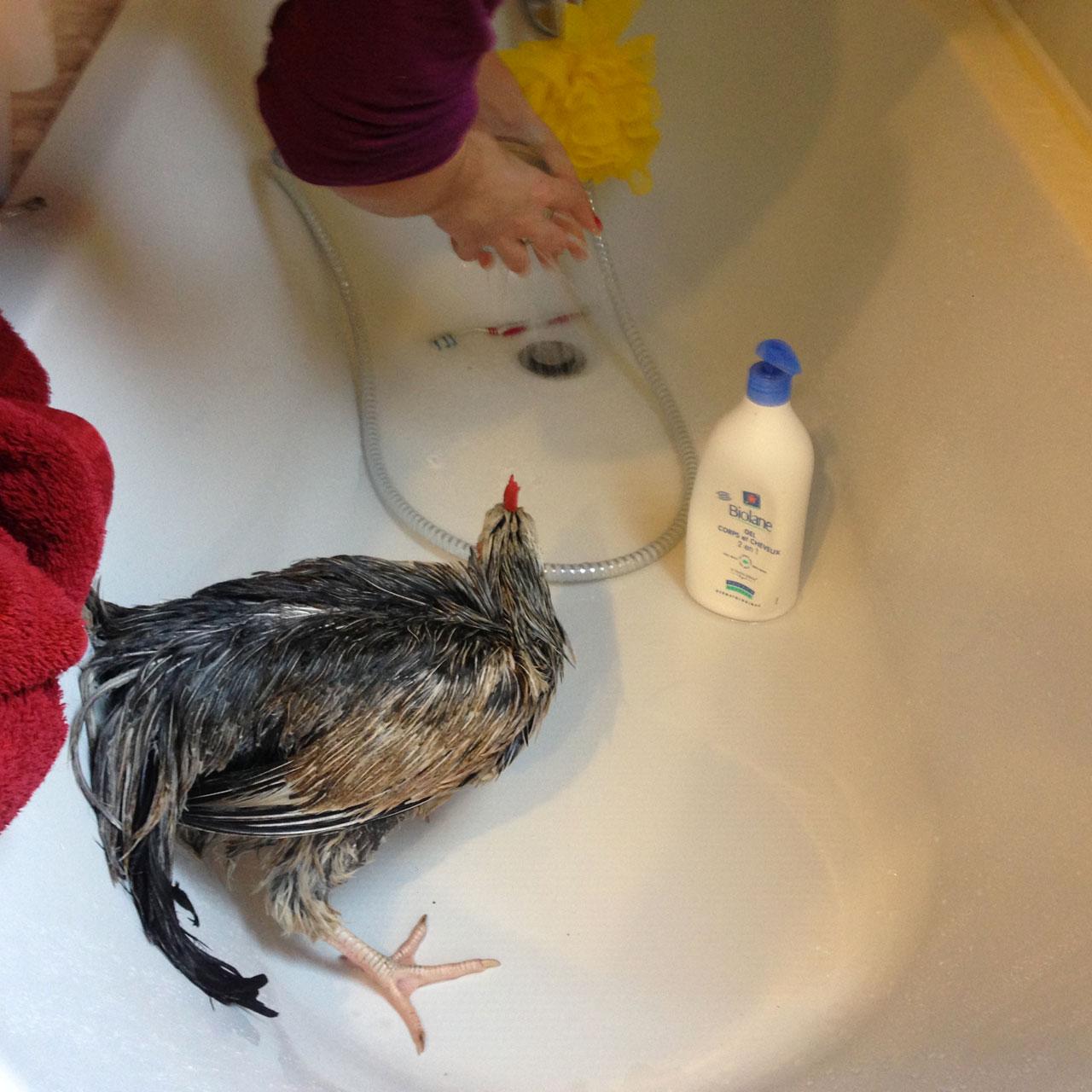 comment laver et s cher votre poule prendre soin de vos poules poules les guides omlet. Black Bedroom Furniture Sets. Home Design Ideas