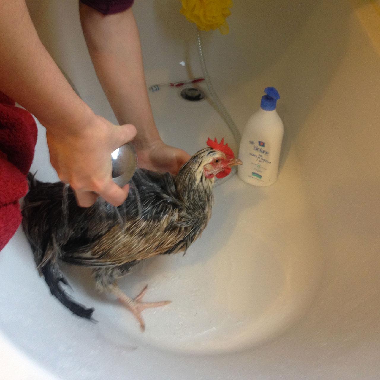 Comment laver et s cher votre poule prendre soin de vos poules poules guides omlet france - Comment laver une couette en plume ...